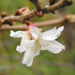 Bild: Schneekirsche Bluete weiss Prunus subhirtella