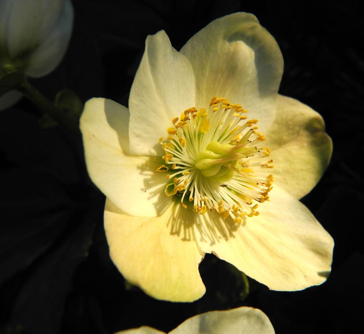 Schneerose Bluete weiß Helleborus niger
