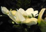 Schneerose Bluete weiß Helleborus niger 04