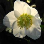 Schneerose Bluete weiß Helleborus niger 05