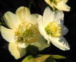 Schneerose Bluete weiß Helleborus niger 07