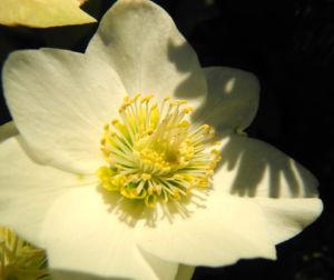 Bild: Schneerose Bluete weiß Helleborus niger