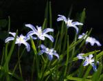 Schneestolz Bluete hellblau Chionodoxa gigantea 01