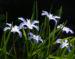 Zurück zum kompletten Bilderset Schneestolz Blüte hellblau Chionodoxa gigantea