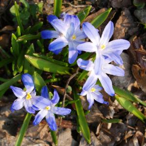 Schneestolz Bluete hellblau Chionodoxa gigantea 03