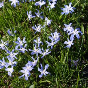 Schneestolz Bluete hellblau Chionodoxa gigantea 04