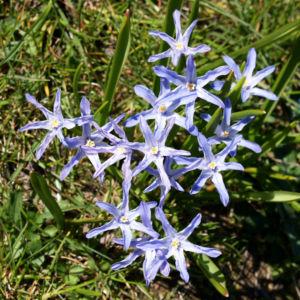 Schneestolz Bluete hellblau Chionodoxa gigantea 09