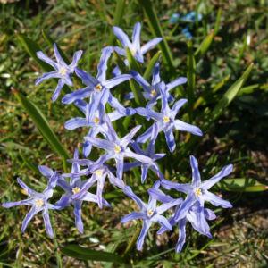 Schneestolz Bluete hellblau Chionodoxa gigantea 11