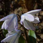Schneestolz weisse Bluete Chionodaxa 04