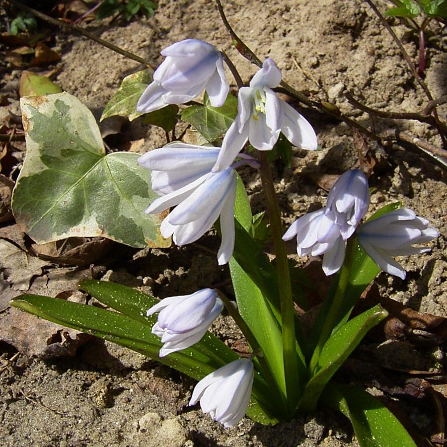 Schneestolz weisse Bluete Chionodaxa