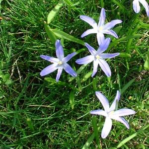 Schneestolz Chionodoxa lucilae 01