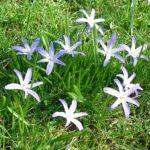 Bild: Schneestolz Gewöhnliche Sternhyazinthe Blüte blau Chionodoxa luciliae