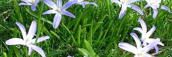 Anklicken um das ganze Bild zu sehen Schneestolz Gewöhnliche Sternhyazinthe Blüte blau Chionodoxa luciliae