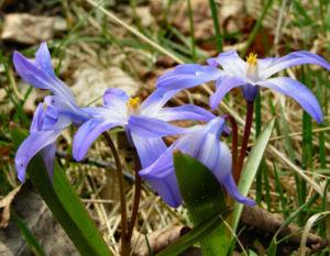 Schneestolz Chionodoxa luciliae 04