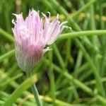 Schnittlauch Bluete pink Allium schoenoprasum 03