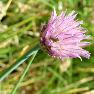 Schnittlauch Bluete pink Allium schoenoprasum 04