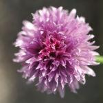 Schnittlauch Bluete purpur Allium schoenoprasum 01