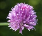 Schnittlauch Bluete purpur Allium schoenoprasum 03