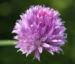 Zurück zum kompletten Bilderset Schnittlauch Blüte purpur Allium schoenoprasum
