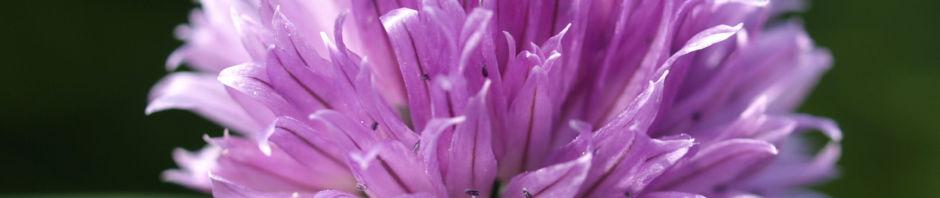 schnittlauch-bluete-purpur-allium-schoenoprasum