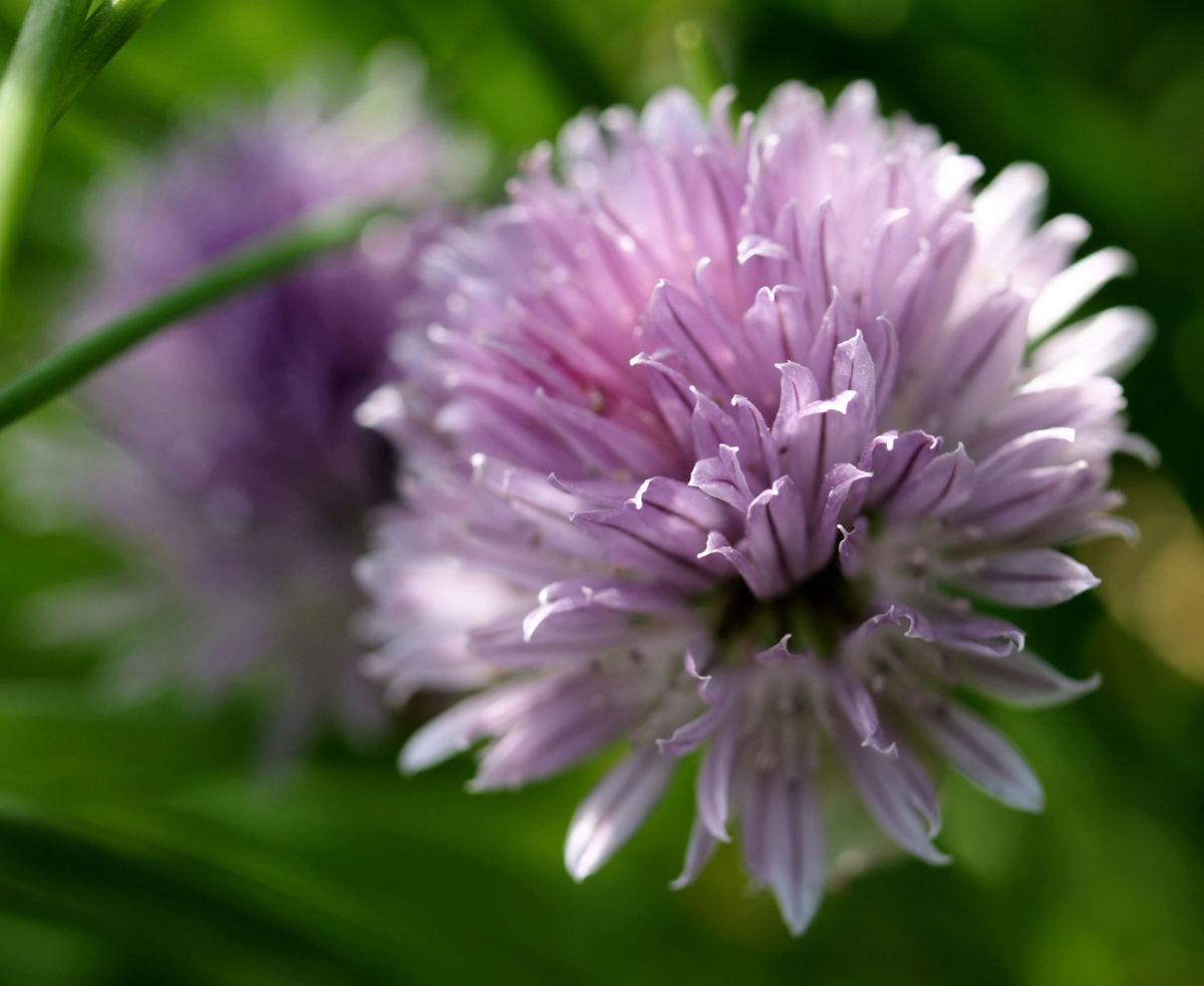 Schnittlauch Bluete purpur Allium schoenoprasum