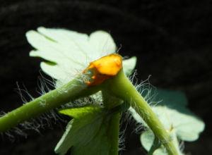 Schoellkraut Anschnitt orange Chelidonium majus 09