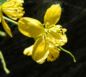 Schoellkraut Bluete gelb Chelidonium majus 06