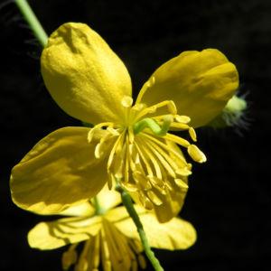 Schoellkraut Bluete gelb Chelidonium majus 08