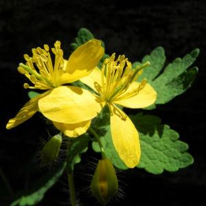 Schoellkraut Bluete gelb Chelidonium majus 14