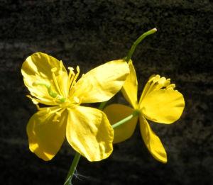 Schoellkraut Bluete gelb Chelidonium majus 15