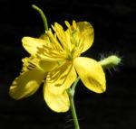 Schoellkraut Bluete gelb Chelidonium majus 18