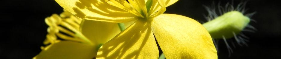 Anklicken um das ganze Bild zu sehen Schöllkraut Blüte gelb Anschnitt orange Chelidonium majus