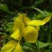 Zurück zum kompletten Bilderset Schöllkraut gelbe Blüte Chelidonium majus