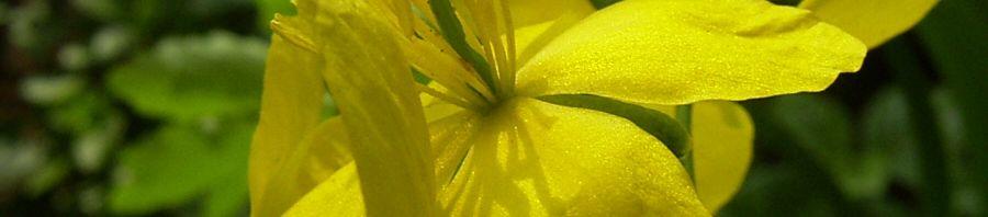Anklicken um das ganze Bild zu sehen  Schöllkraut gelbe Blüte Chelidonium majus