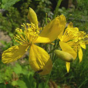 Schoellkraut gelbe Bluete Chelidonium majus 06
