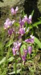Schoene Goetterblume Bluete pink Dodecatheon pulchellum 02