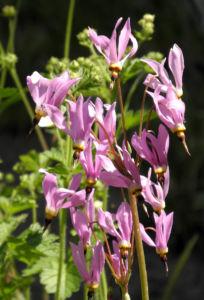 Schoene Goetterblume Bluete pink Dodecatheon pulchellum 09