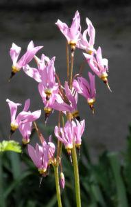 Schoene Goetterblume Bluete pink Dodecatheon pulchellum 11
