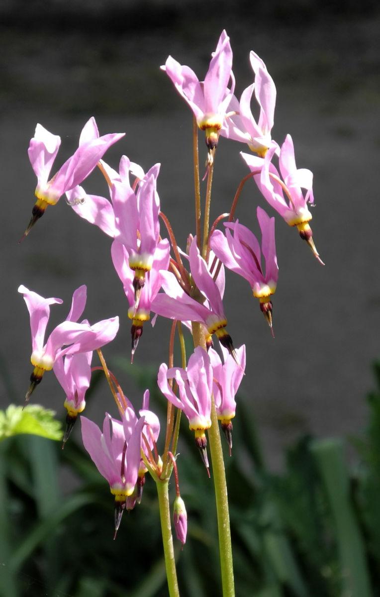Schoene Goetterblume Bluete pink Dodecatheon pulchellum