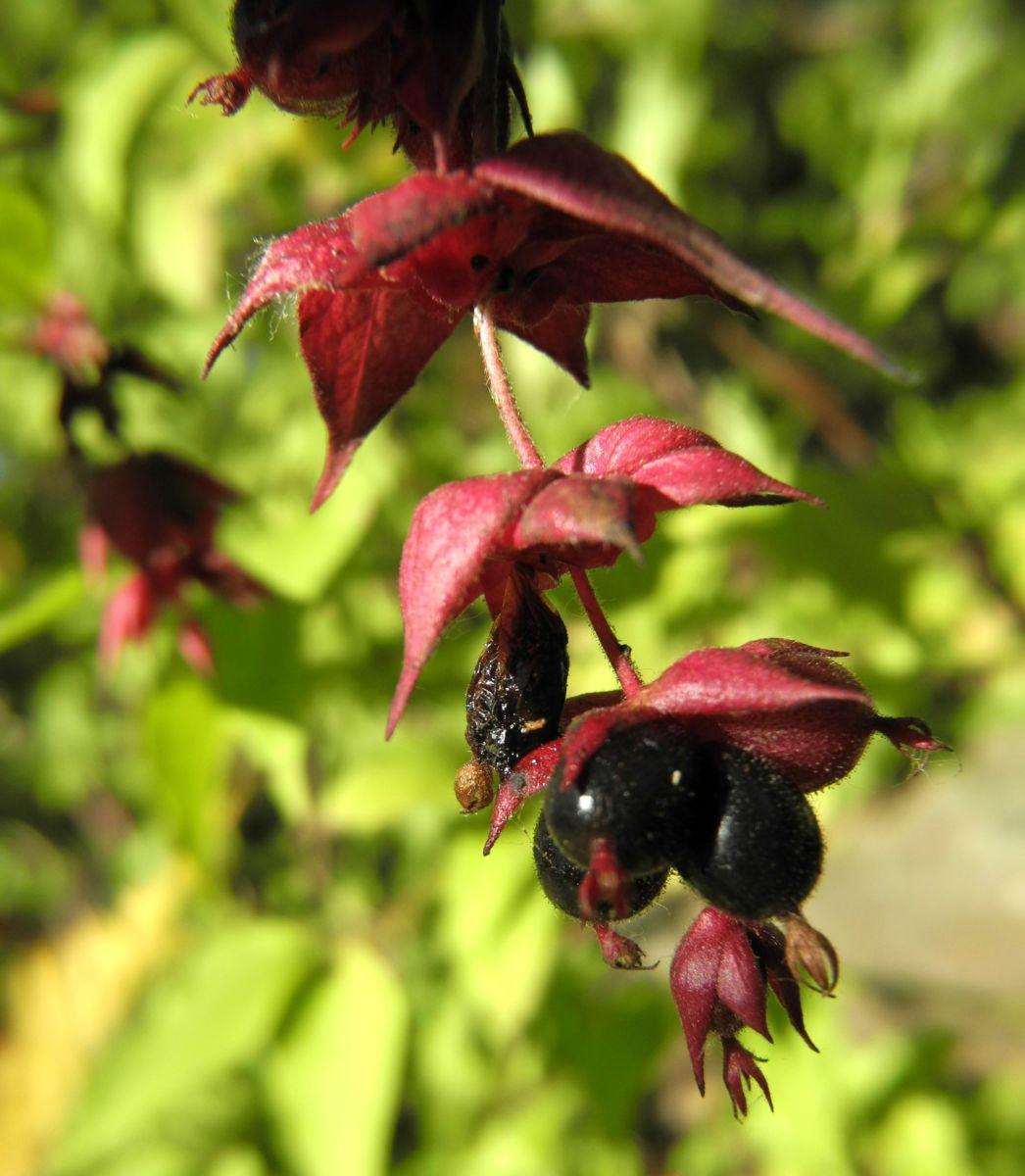 Schoene Leycesterie Frucht schwarz Leycesteria formosa