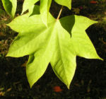 Schoener Panax Baum Blatt gruen Kalopanax pictus 01