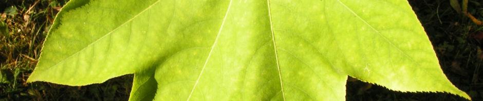Anklicken um das ganze Bild zu sehen Baumaralie Blatt grün Kalopanax septemlobus