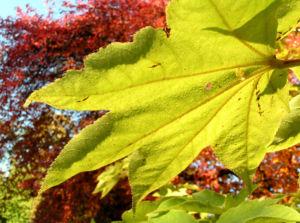 Schoener Panax Baum Blatt gruen Kalopanax pictus 02