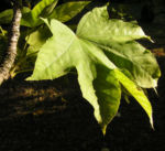 Schoener Panax Baum Blatt gruen Kalopanax pictus 03