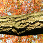 Schoener Panax Baum Blatt gruen Kalopanax pictus 04