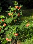 Bild: Schönmalve Blüte orange Abutilon × hybridum