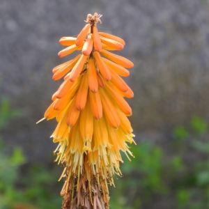 Schopf Fackellilie Bluete orange Kniphofia uvaria 08
