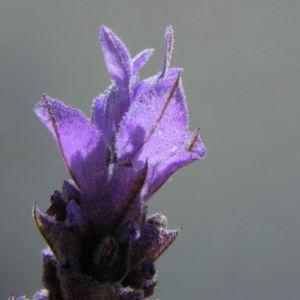 Schopf Lavendel Bluete lila Lavandula stoechas0 0