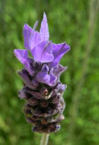 Schopf Lavendel Bluete lila Lavandula stoechas0 1