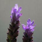 Bild:  Schopf-Lavendel Blüte lila Lavandula stoechas